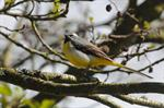 Grey Wagtail (Motacilla cinerea)
